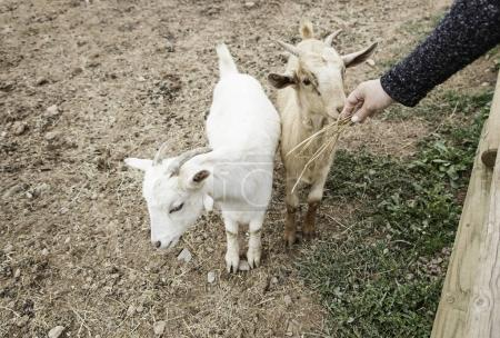 Fondling a goat on a farm