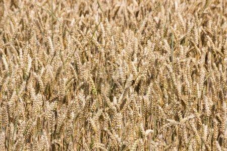 Photo pour Champ du grain avant la récolte - image libre de droit