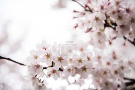 Beautiful cherry Flowers on Tree
