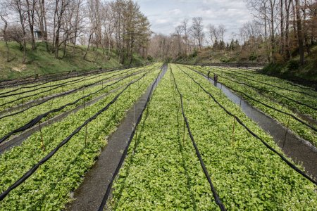 Cultivation of wasabi crops