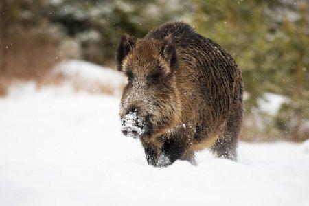 Photo pour Grand sanglier mâle, sus scrofa, pataugeant dans la neige profonde en hiver avec des flocons de neige tombant autour. Congélation des paysages fauniques d'animaux se déplaçant en hiver . - image libre de droit
