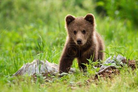Photo pour Portrait de l'ours brun, ursus arctos, dans son habitat naturel. Un bébé ours sans défense debout sur la prairie sans sa mère et regardant innocemment dans la caméra . - image libre de droit
