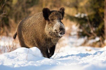 Photo pour Sanglier rustique, sus scrofa, courant sur une prairie enneigée couverte de neige en hiver. Mammifère brun marchant à la lumière du jour à travers le gel dans la nature sauvage au lever du soleil . - image libre de droit