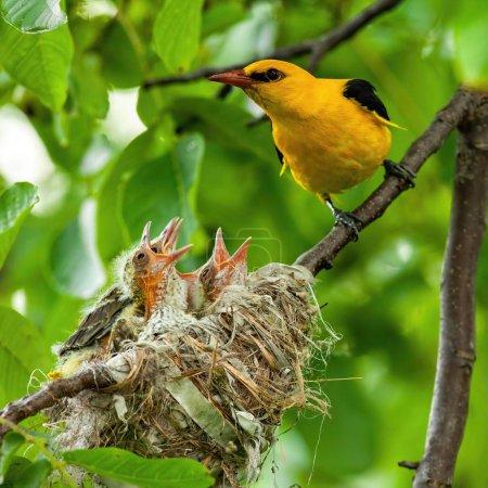 Photo pour Oriole dorée mâle, orilus oriolus, assise à côté de son nid avec de jeunes nouveau-nés. Concept de famille animale. Oiseau jaune assis au sommet des arbres pendant la saison de reproduction estivale . - image libre de droit