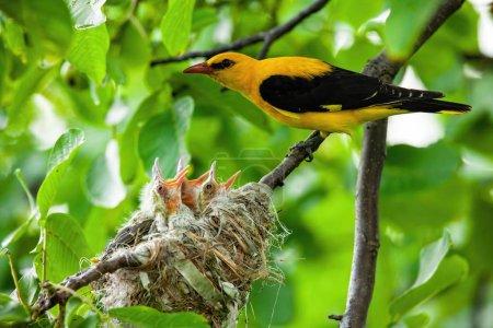 Photo pour Oriole dorée eurasienne, orilus oriolus, avec plumage jaune et noir reproduisant des petits nouveau-nés assis dans un nid proche l'un de l'autre. Oiseaux nichant en été . - image libre de droit