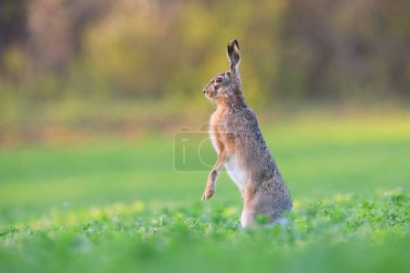 Photo for Brown hare, lepus europaeus, standing on a rear legs in vertical position on a green field in spring with copy space and blurred background. Wild animal with long ears in nature. - Royalty Free Image