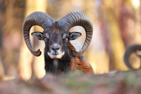 Horizontal portrait of mouflon, ovis orientalis, r...