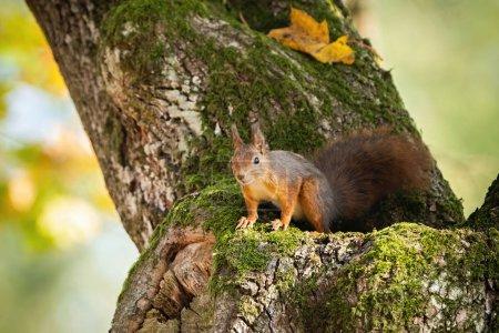 Photo pour Écureuil roux, sciurus vulgaris, regardant vers le bas à partir d'un arbre en automne avec espace de copie. Mammifère énergique avec fourrure et longue queue dans le parc en Slovaquie, Europe . - image libre de droit