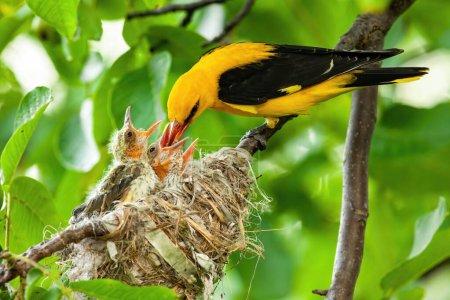 Photo pour Oriole dorée jaune, oriole oriolus, nourrissant ses petits sur son nid dans un arbre vert en été. Parent animal passant la nourriture nutritive aux nouveau-nés. Concept de famille animale et d'amour . - image libre de droit