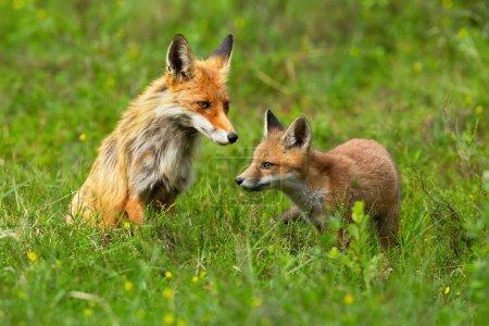 Petit renard roux explorant les environs avec sa mère assise derrière et gardant