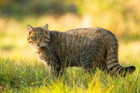 Photo pour Chat sauvage européen d'alerte, felis silvestris, debout sur un pré herbeux et regardant la caméra en été au coucher du soleil. Mammifère prédateur attentif dont la fourrure est rayée debout dans la nature, vue de côté. - image libre de droit