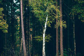 Birch trees against pine forest
