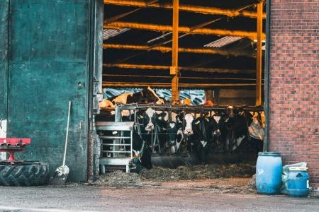 group of cows standing in cattle shed