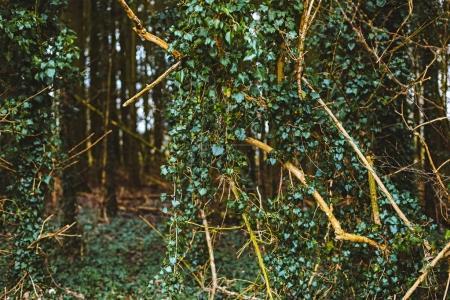 Photo pour Feuilles vertes du lierre sur les arbres dans la forêt. - image libre de droit