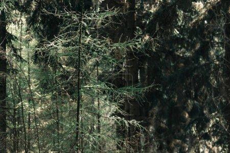 Photo pour Petits jeunes arbres dans la forêt de pins au printemps - image libre de droit