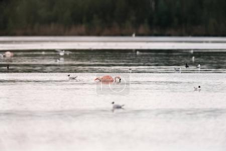 flamingo floating in lake