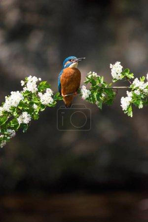 Photo pour Martin-pêcheur commun perché sur une branche fleurie au printemps . - image libre de droit