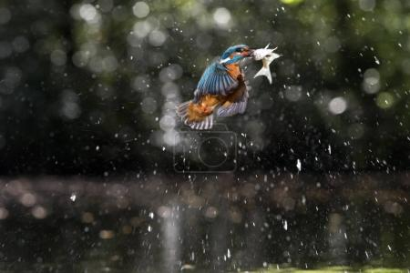 Kingfisher with fish in beak