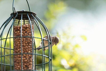Photo pour Moineau domestique perché sur mangeoire suspendue remplie d'arachides - image libre de droit