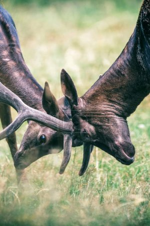 two deer romping with antlers