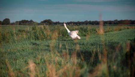 Mute swan stretching neck