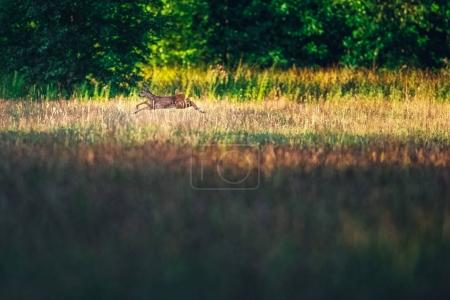 Roe deer running in field