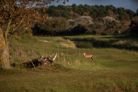 Photo pour Le renard roux, marchant sur le paysage de prairie herbeuse - image libre de droit