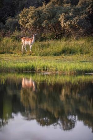 Photo pour Doe de daims dans les hautes herbes verte près de l'eau - image libre de droit