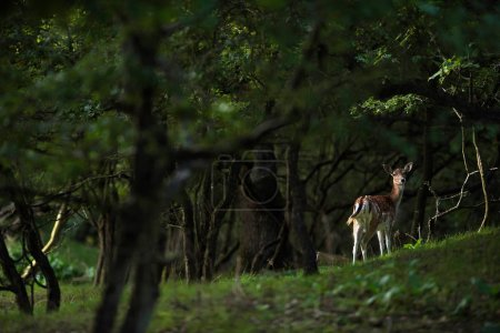Photo pour Biche en jachère dans la forêt d'été - image libre de droit
