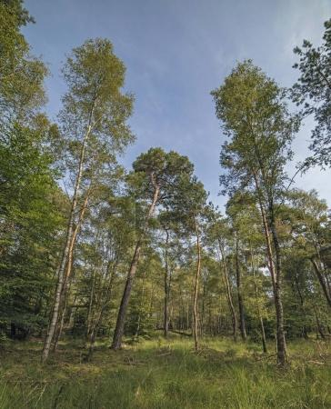 Birch and pine trees in forest