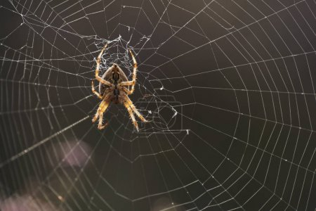 Cross spider in web