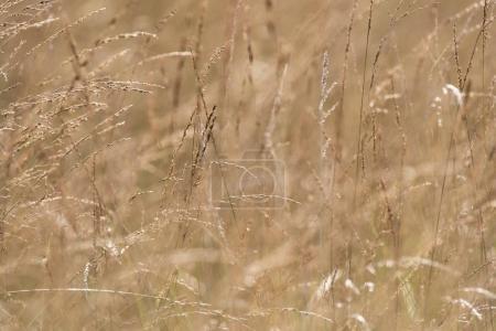 high yellow grass