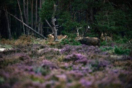 Photo pour Cerf rouge avec des bois dans la boue dans le champ de bruyère en fleurs - image libre de droit