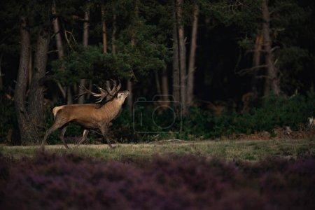 Photo pour Cerf élaphe dans les Landes en rut - image libre de droit