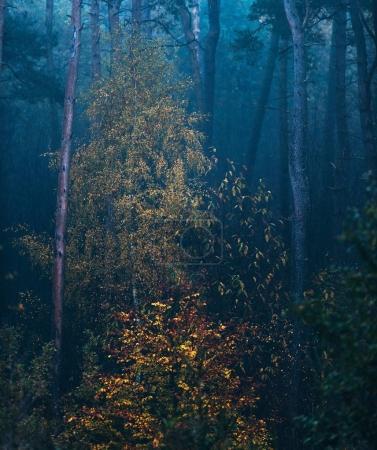 Photo pour Misty forêt d'épinette d'automne avec des bouleaux de couleur jaune . - image libre de droit