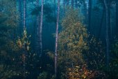 Misty fall spruce forest