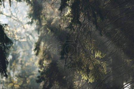 pine tree with rays