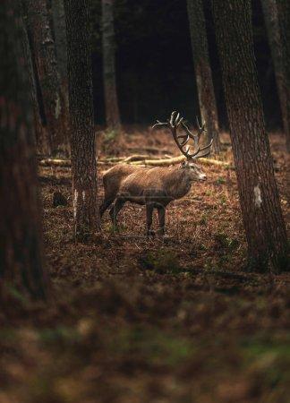 Photo pour Cerf cerf solitaire dans la forêt d'automne. Rhénanie du Nord-Westphalie, Allemagne - image libre de droit