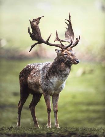 Single fallow deer buck standing in meadow. North ...