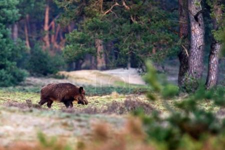 Photo pour Sanglier solitaire marchant sur Prairie en forêt - image libre de droit