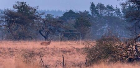 Photo pour Cerf rouge solitaire marche dans l'herbe jaune haute de prairie brumeuse - image libre de droit