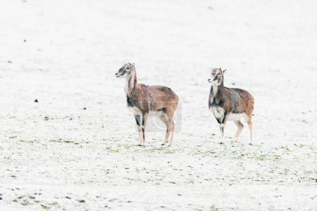 Two mouflons standing on snowy meadow...
