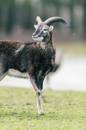 Mouflon buck standing on meadow with snow....
