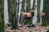 deer in winter deciduous forest