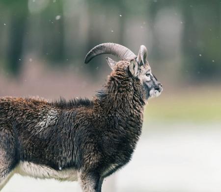 Mouflon ram standing on meadow during light snowfa...