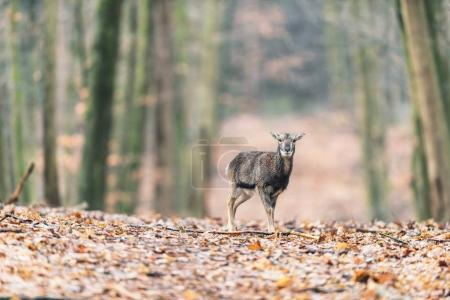 Mouflon young standing alone in autumn forest...