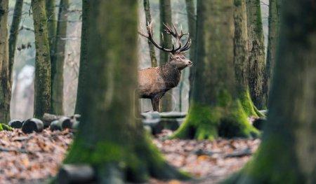 Photo pour Cerf cerf solitaire dans les forêts décidues hiver - image libre de droit
