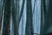 Tree trunks of winter forest