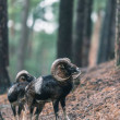 Mouflon males on slope in hilly pine forest....