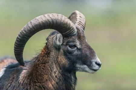 Mouflon ram with big horns